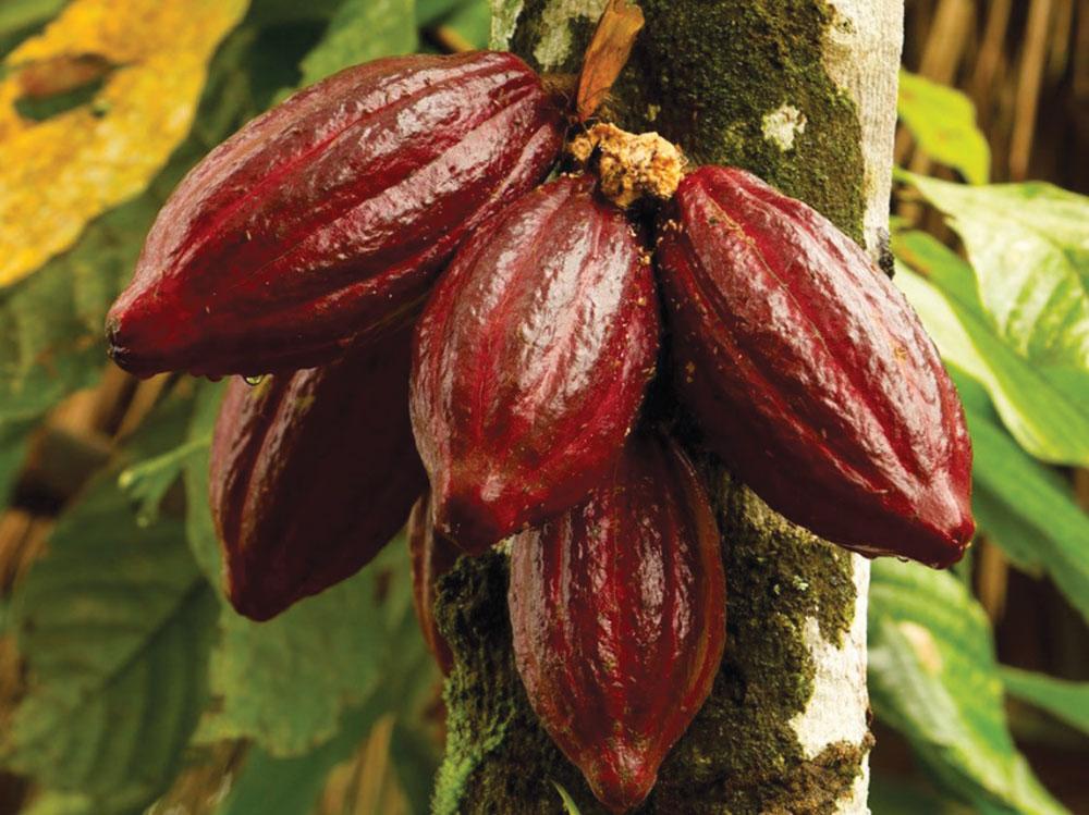 шоколад дерево