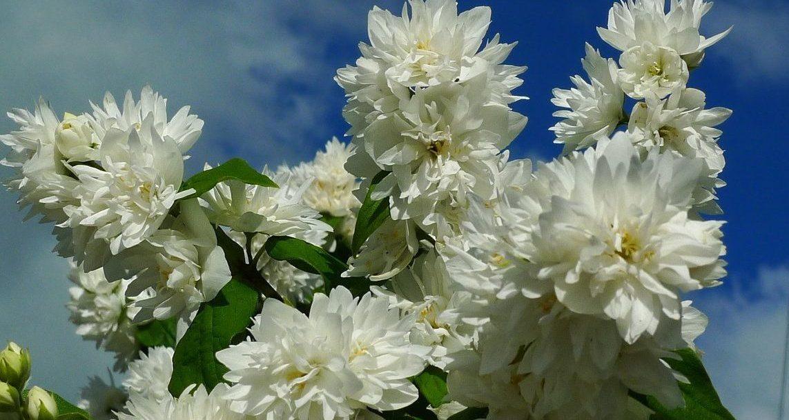 жасмин чубушник махровый