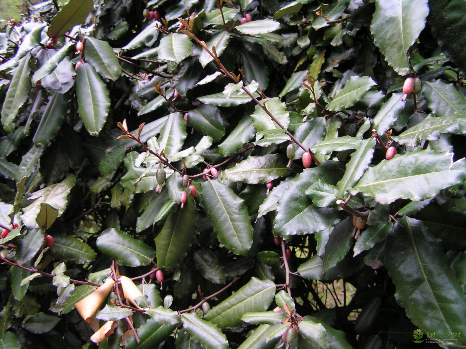 растение лох колючий
