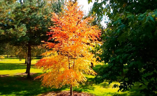 дерево багряник