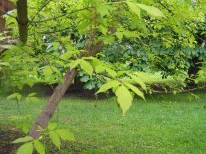 американский клен дерево