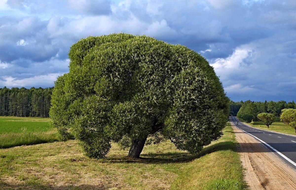 ива дерево