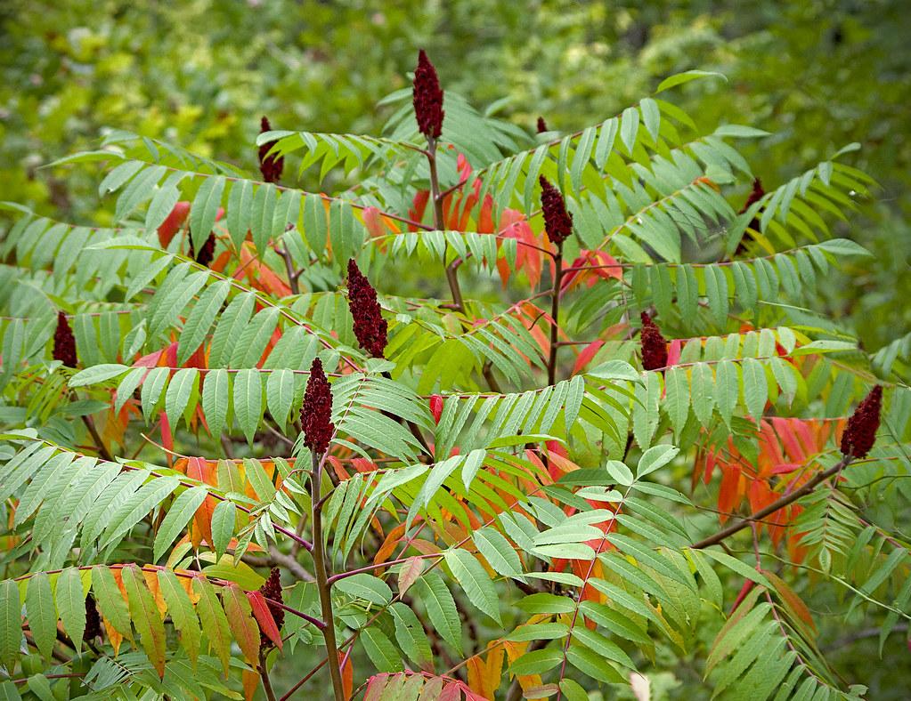описание дерева сумах
