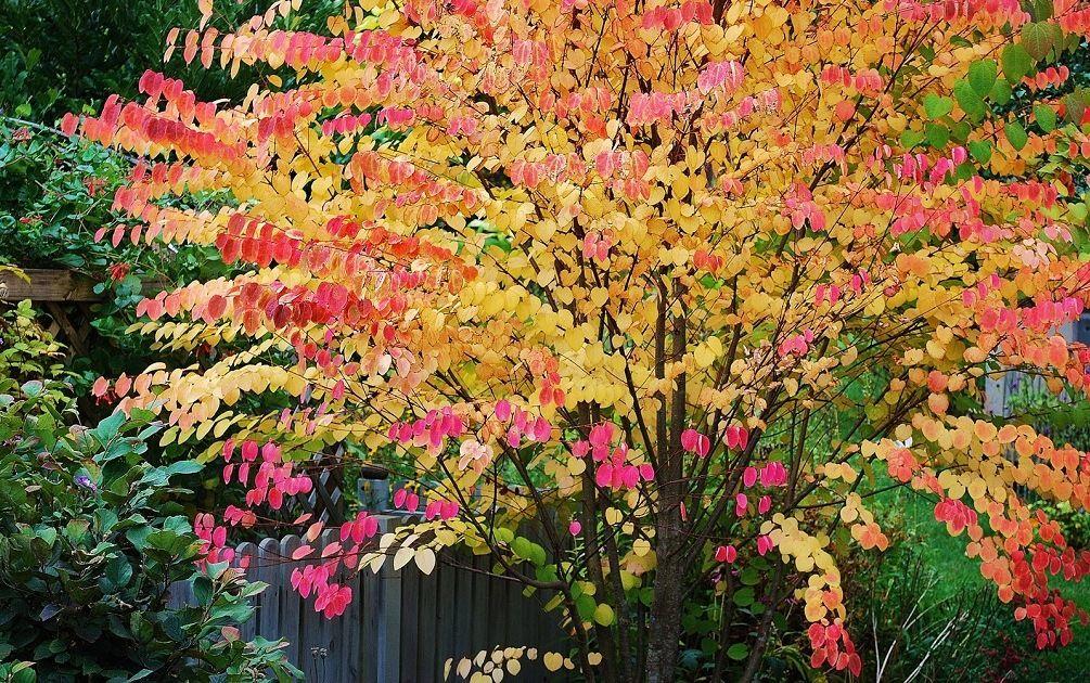 багряник японский цветение