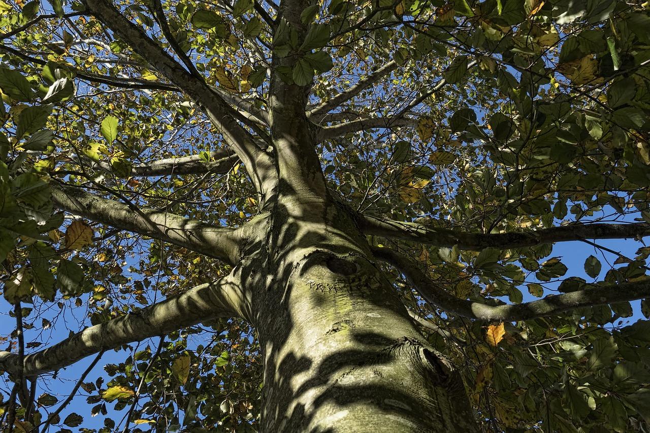 плод дерева бук