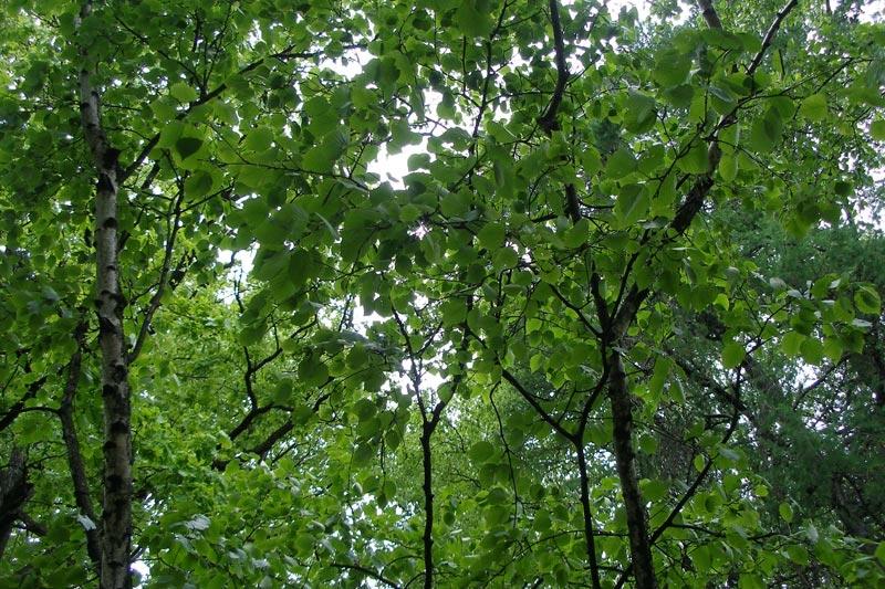 железное дерево описание