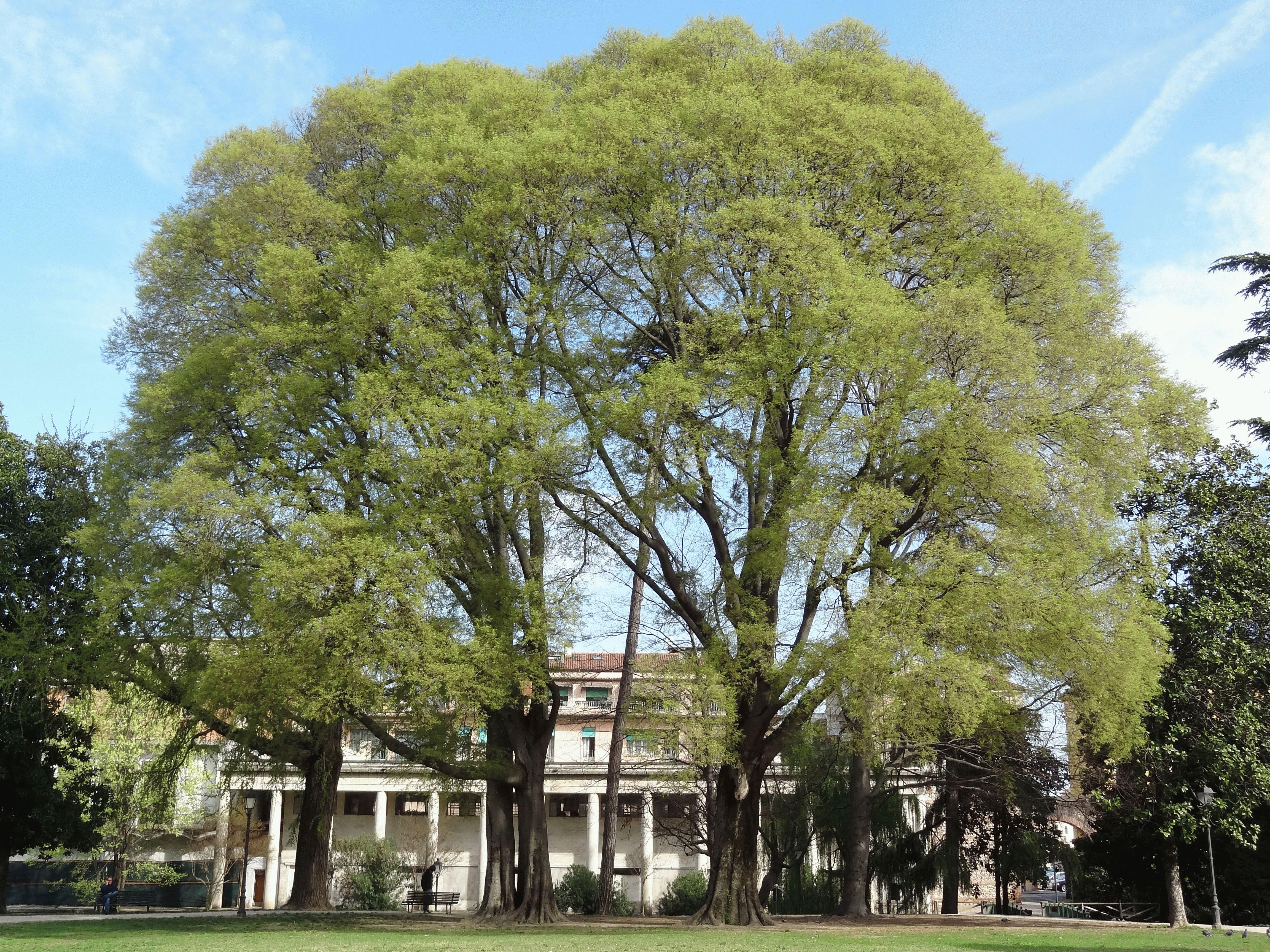 каменное дерево описание