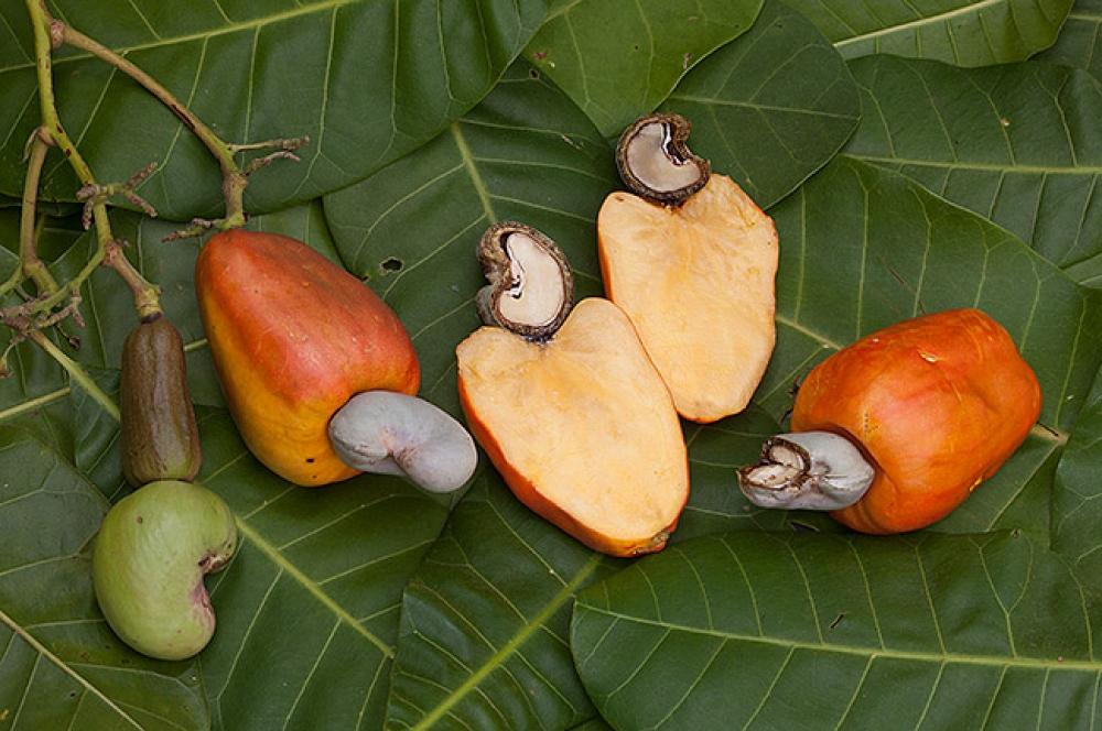 дерево с орехами кешью