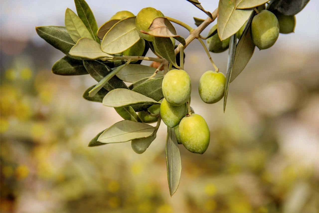 маслина дерево