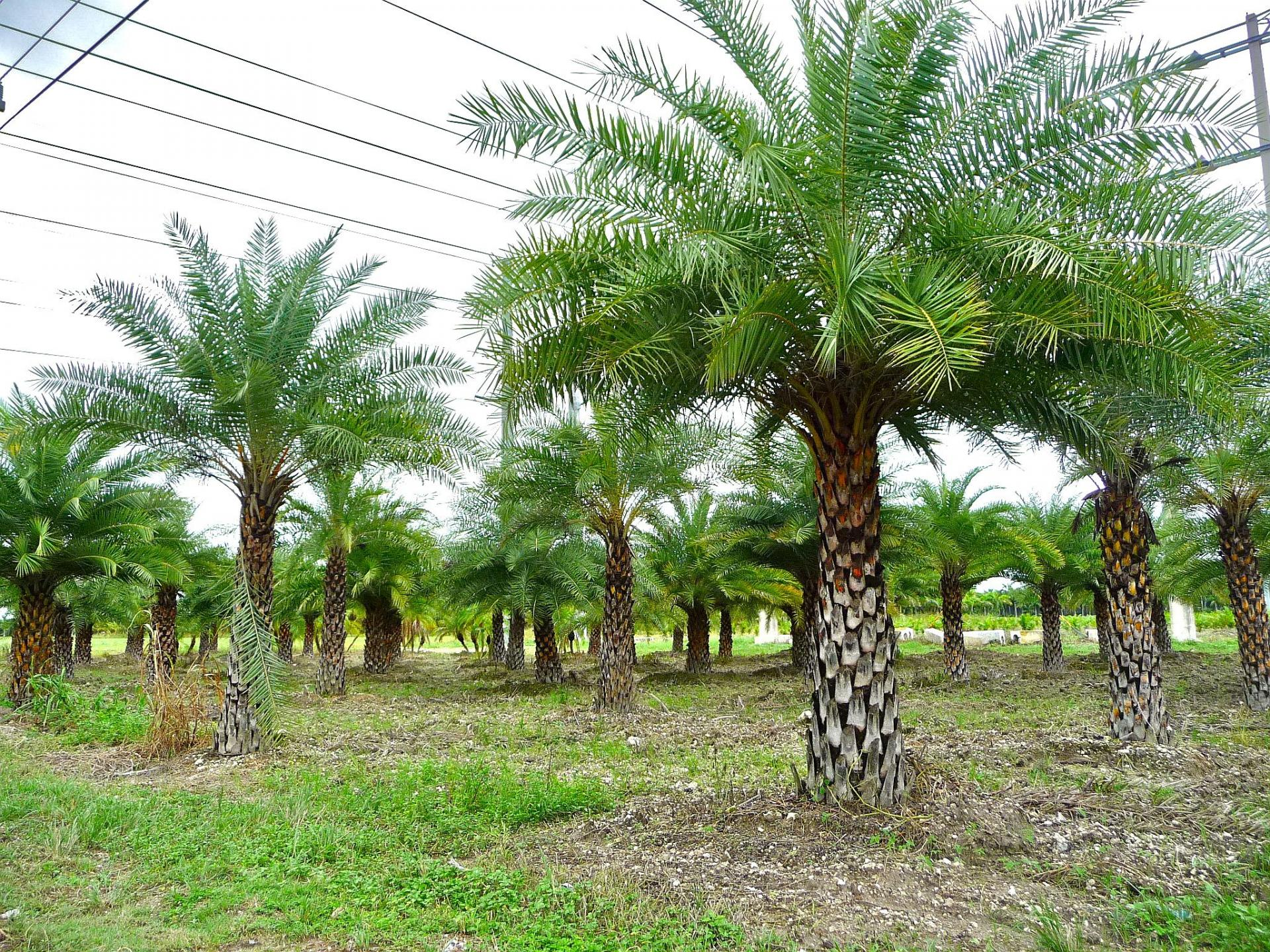 финиковая пальма +в домашних условиях