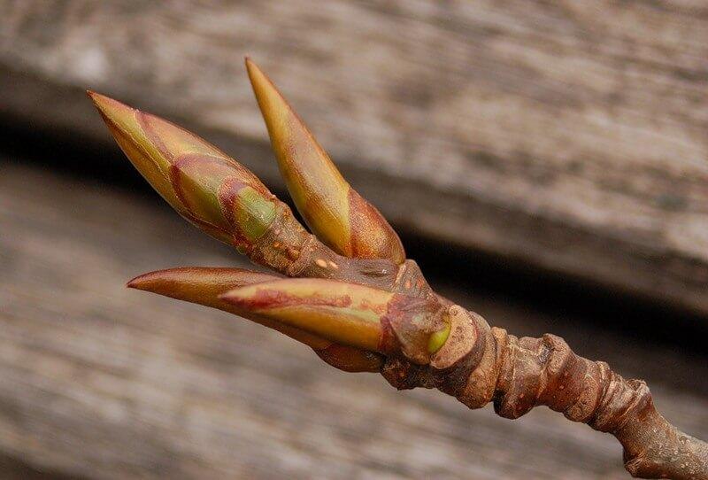 листья осокоря