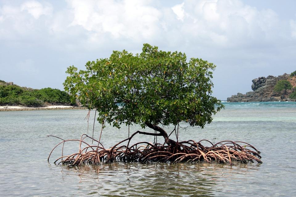 мангра дерево