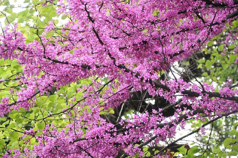 цветущий багряник