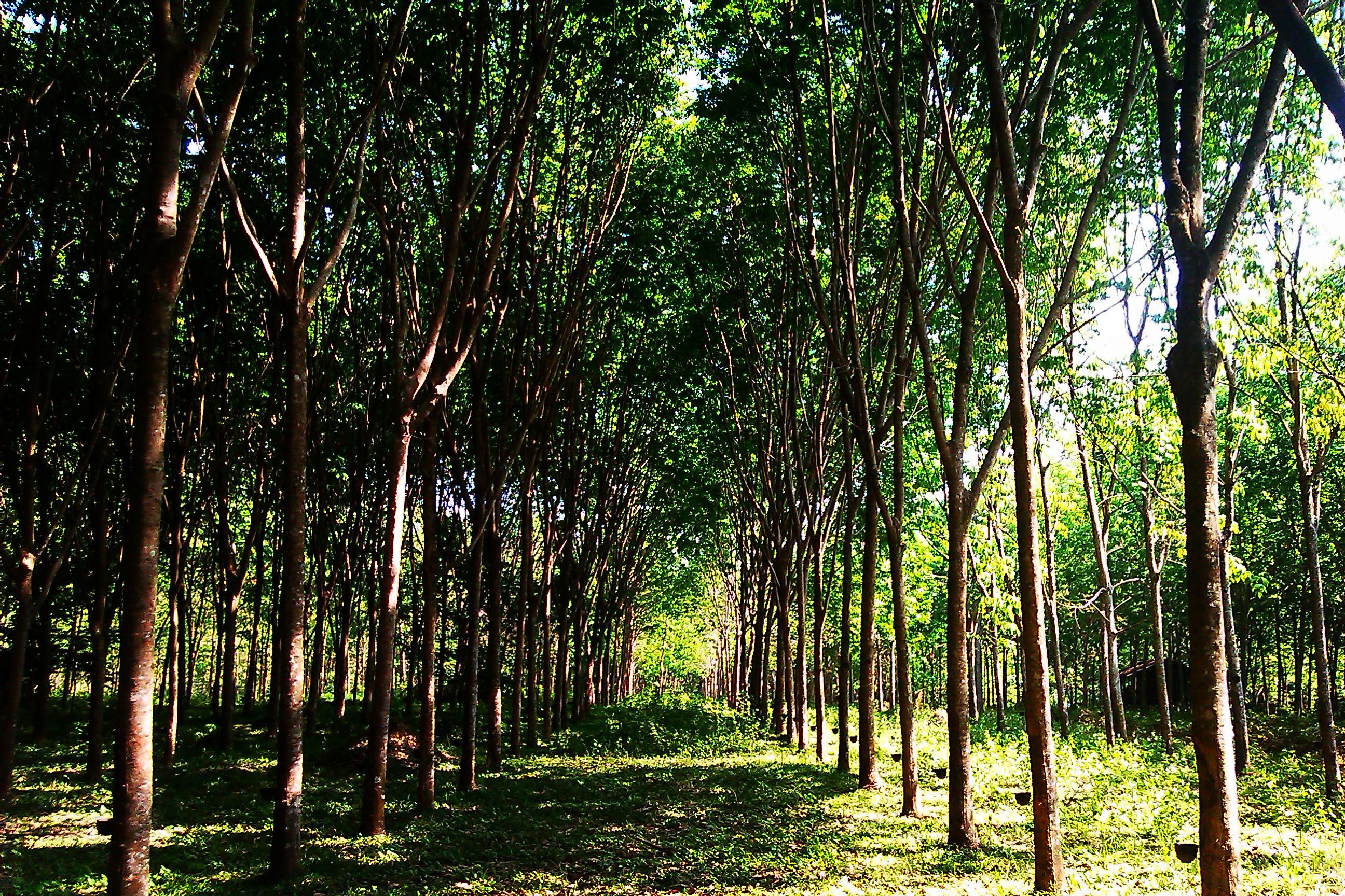 резиновое дерево