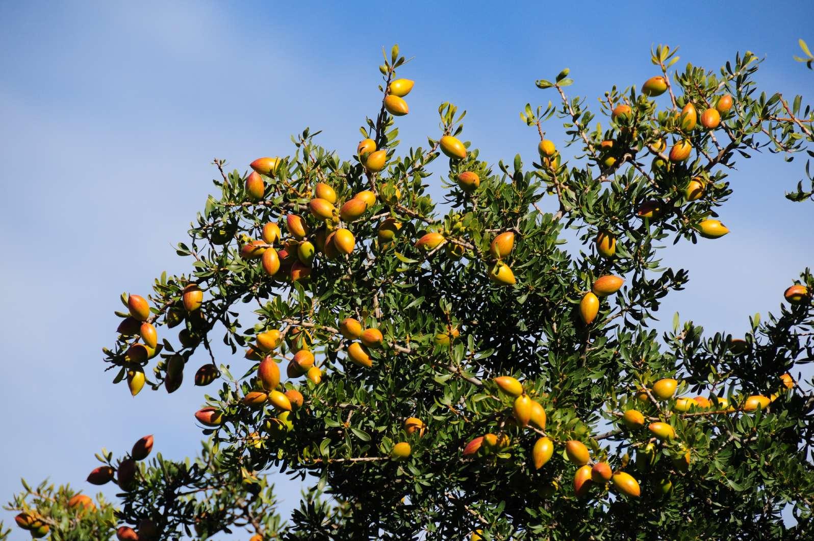 железное дерево название