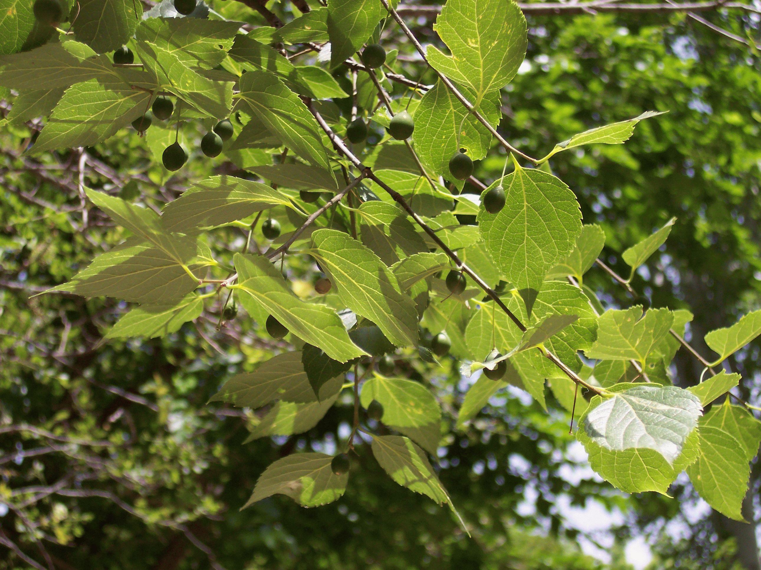 дерево каркас