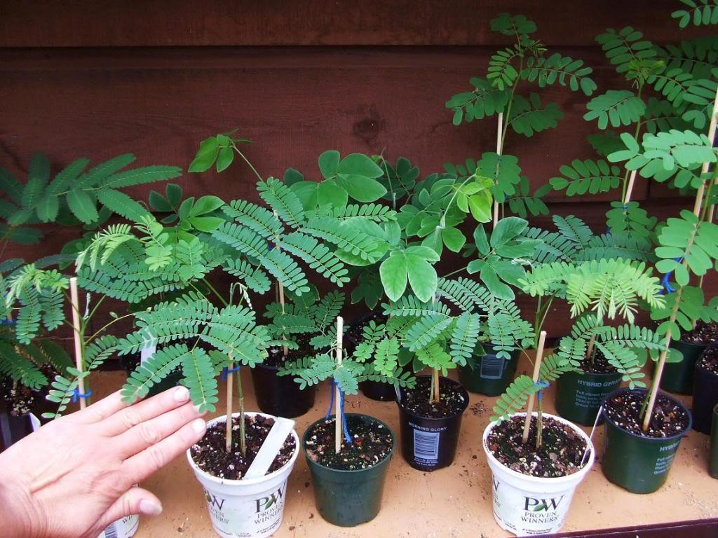 альбиция в домашних условиях альбиция из семян