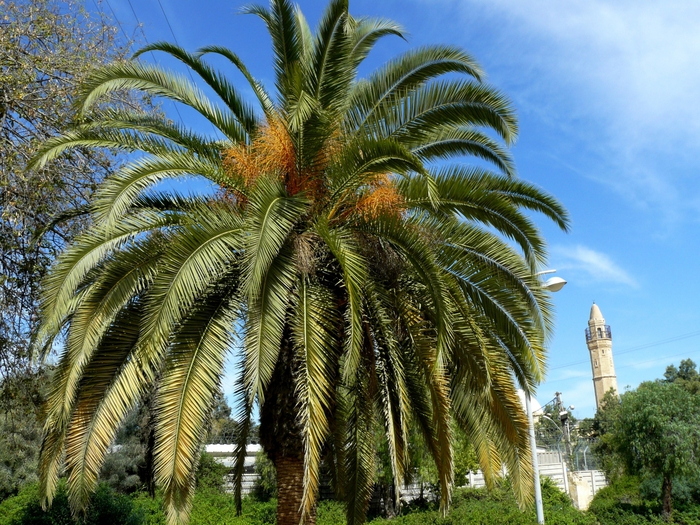 финиковая пальма +из косточки польчатой пальмы
