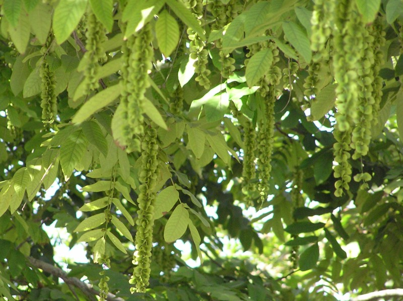 птерокария ясенелистная