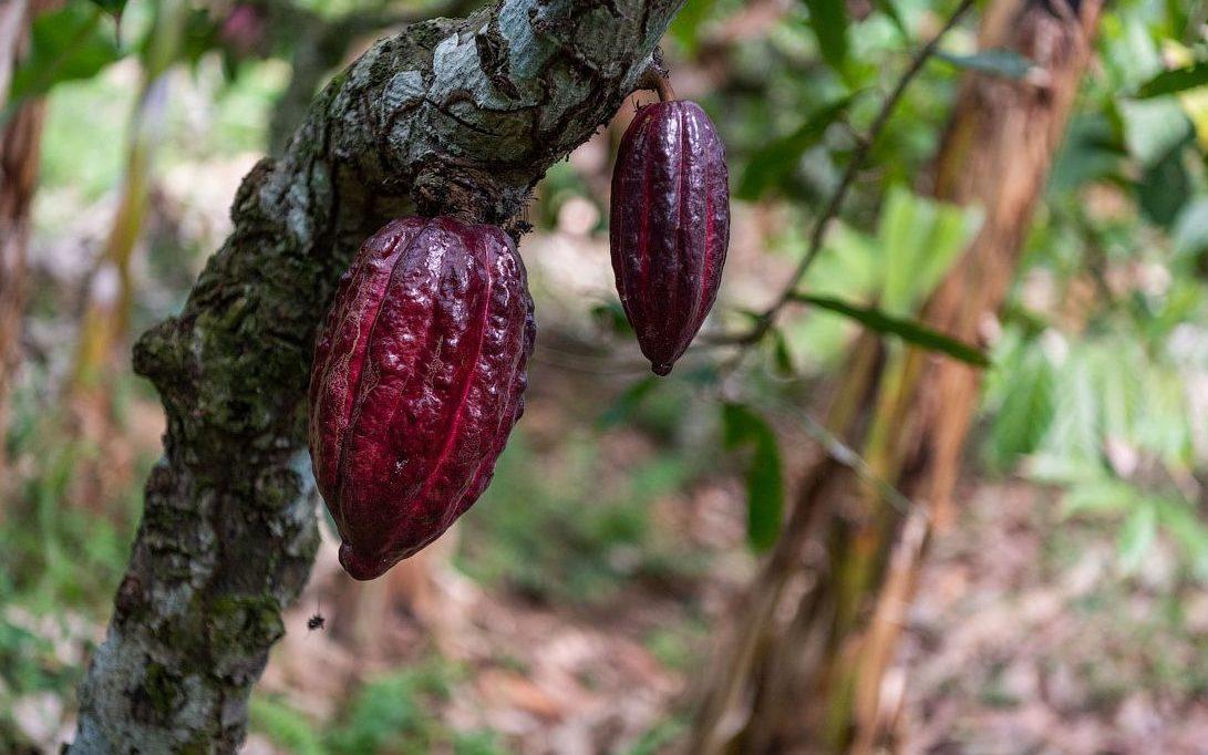 какао выращивание