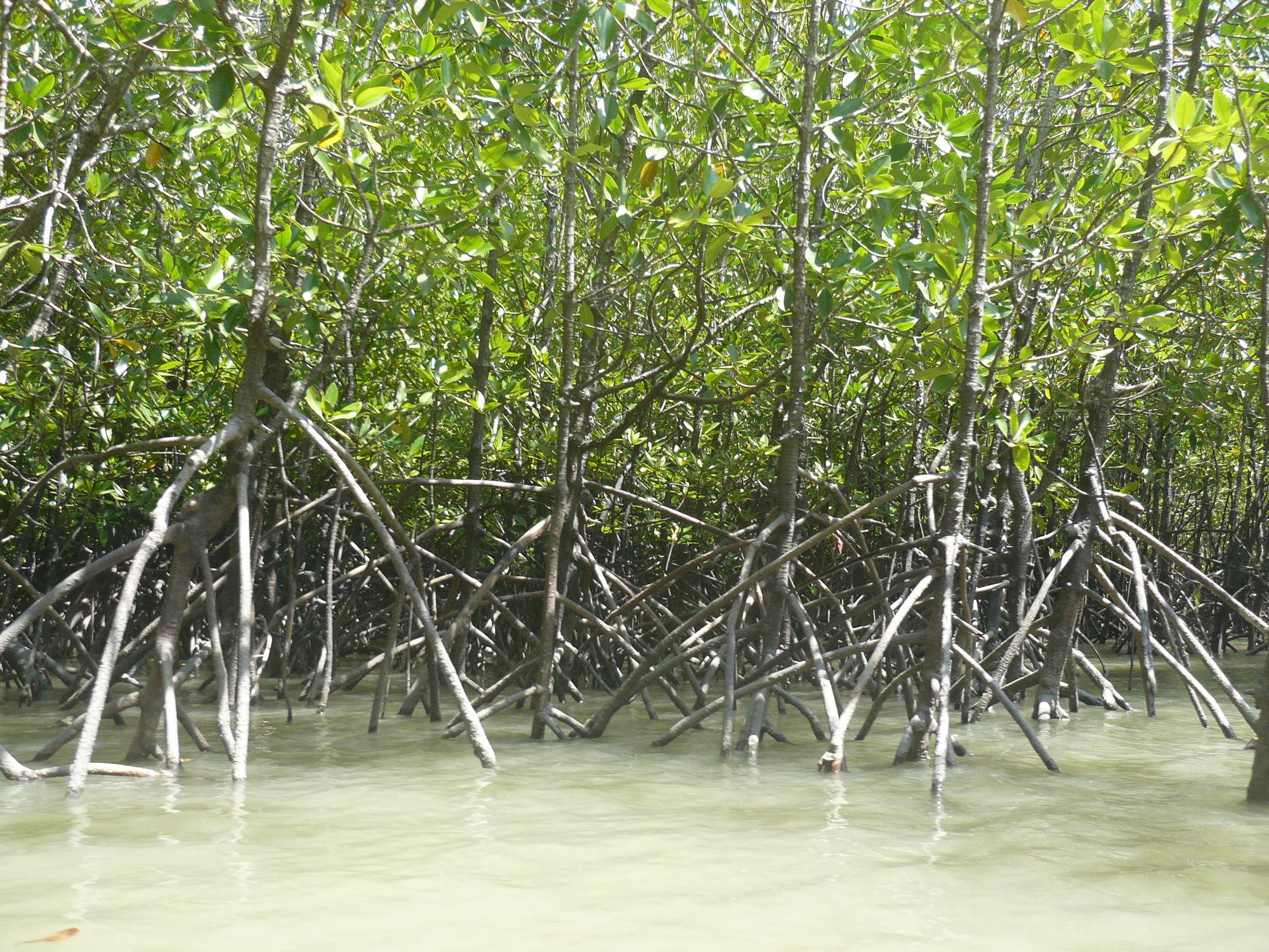 корень мангрового дерева