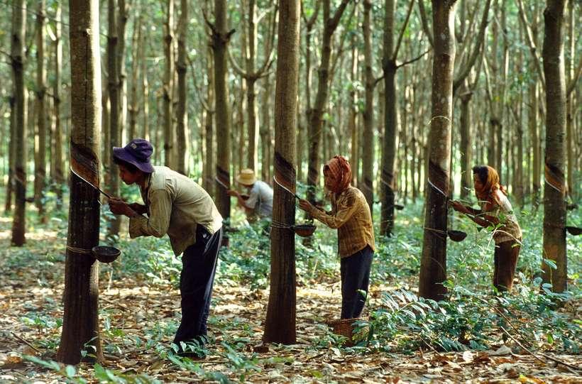 древесина гевеи