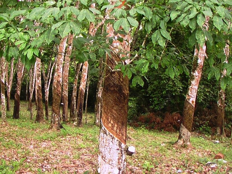 каучуковое дерево гевея