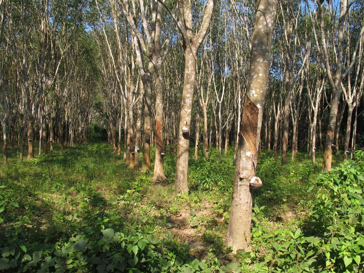 гевея бразильская выращивание