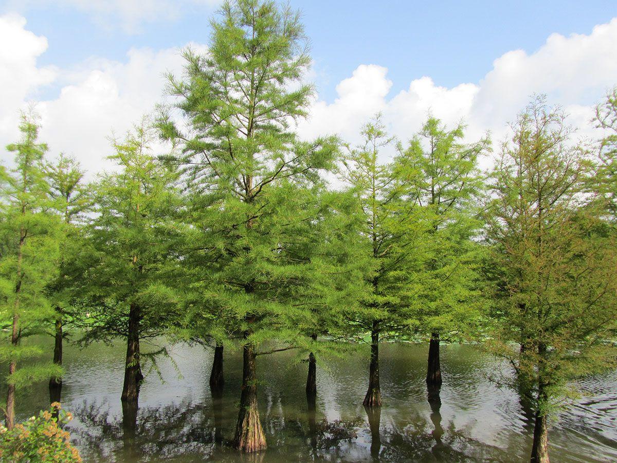 болотный кипарис корни
