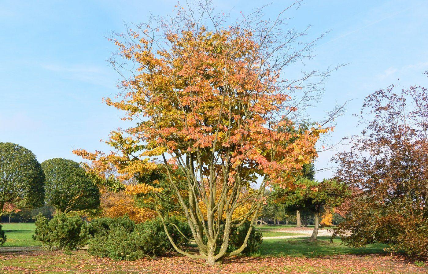 железное дерево каменное дерево
