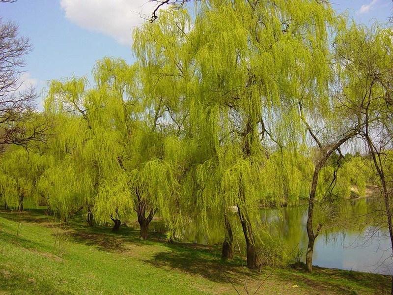 листопадные деревья ива белая