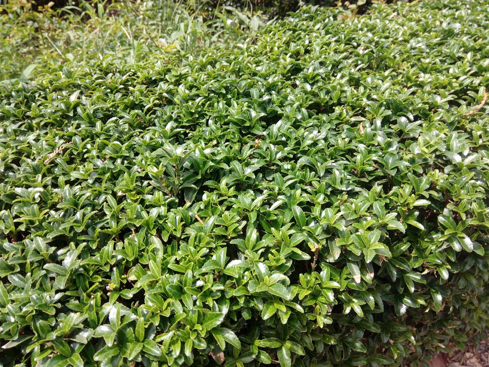 бересклет японский комнатные растения