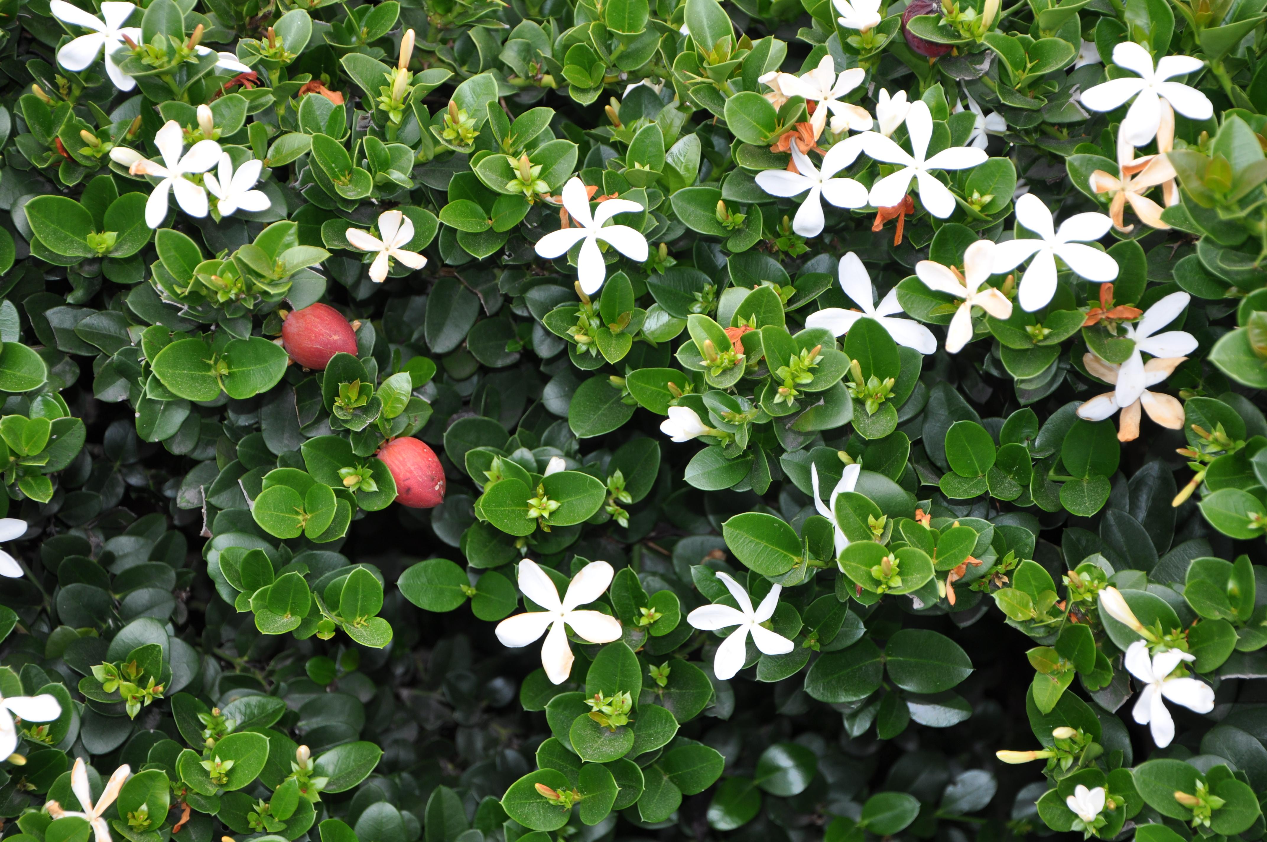 карисса растение