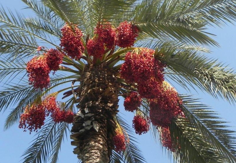 финиковая пальма +из косточки +в домашних условиях