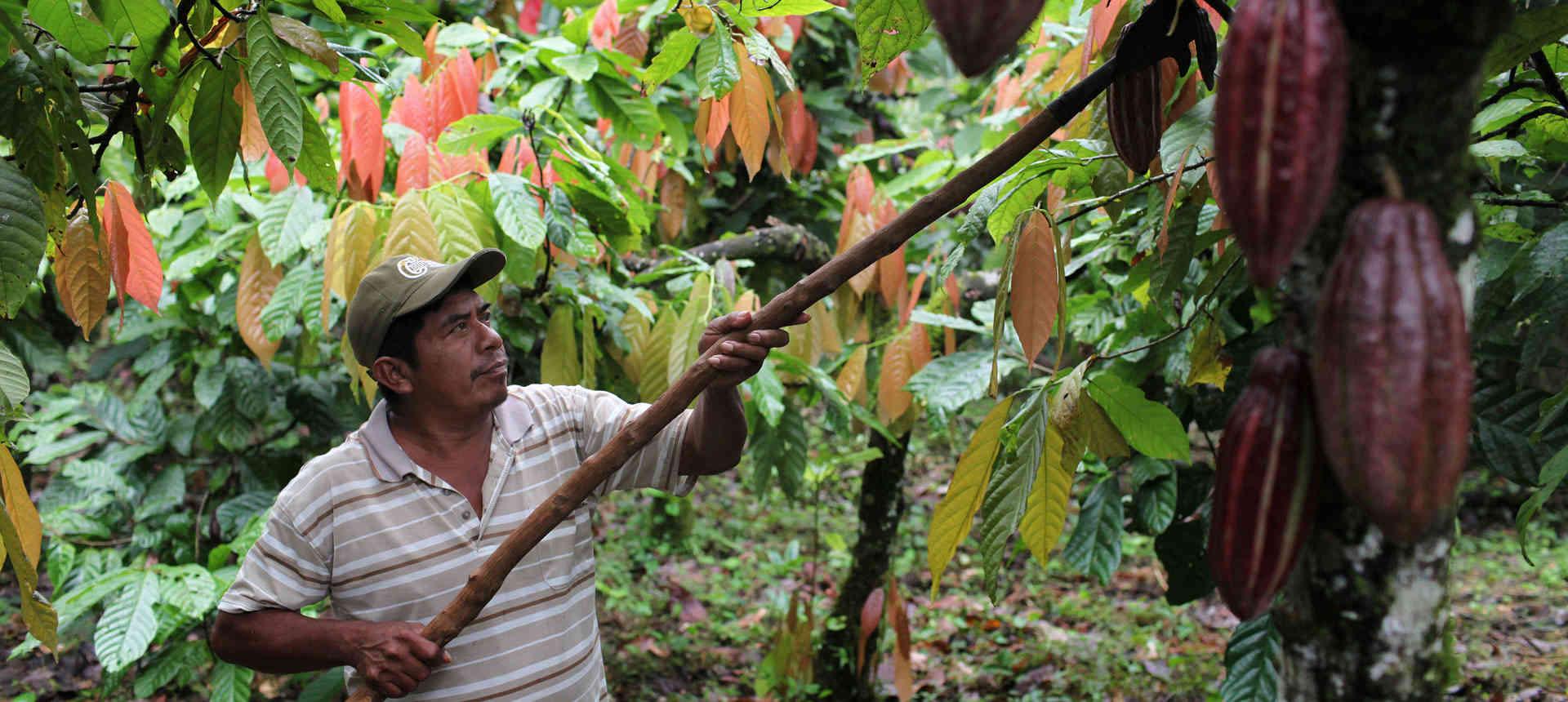шоколадное дерево материк» width=