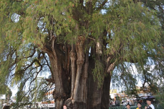 дерево туле фото