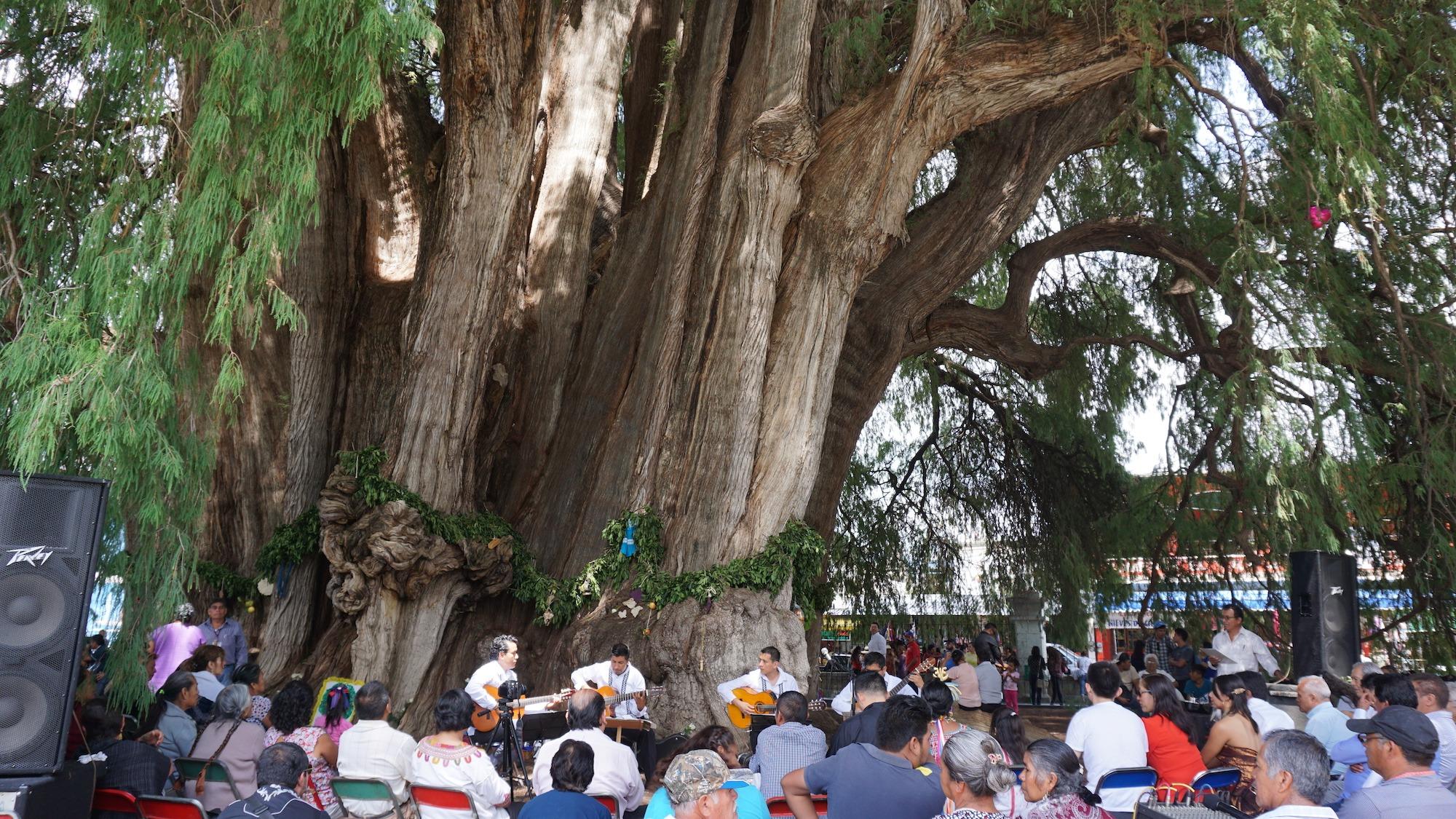 дерево туле мексика