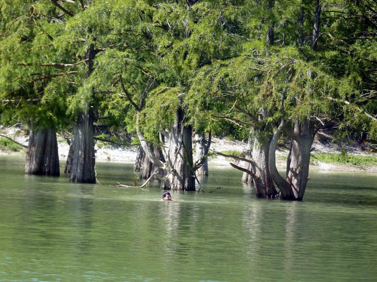 болотный кипарис