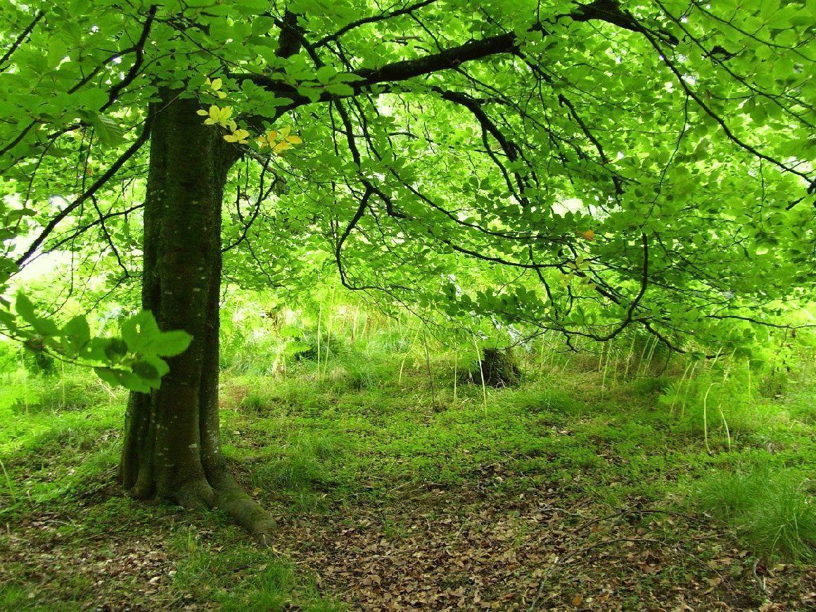 листья деревьев бук