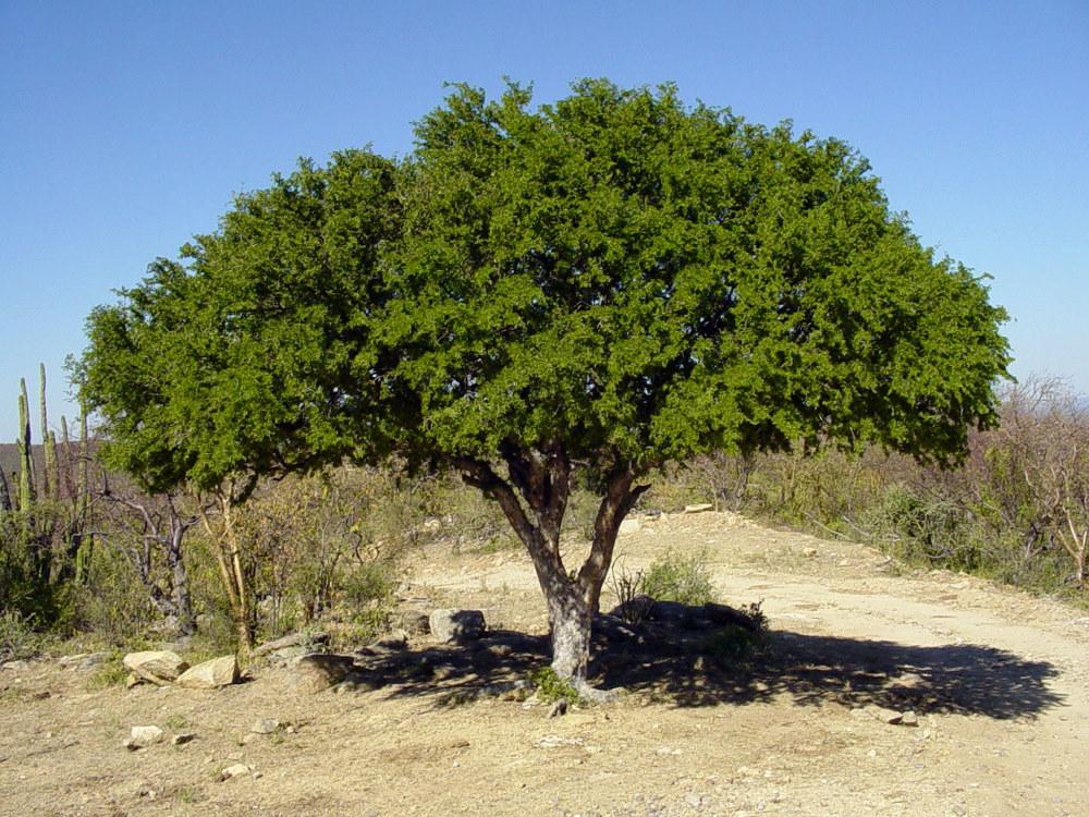 железное дерево древесина