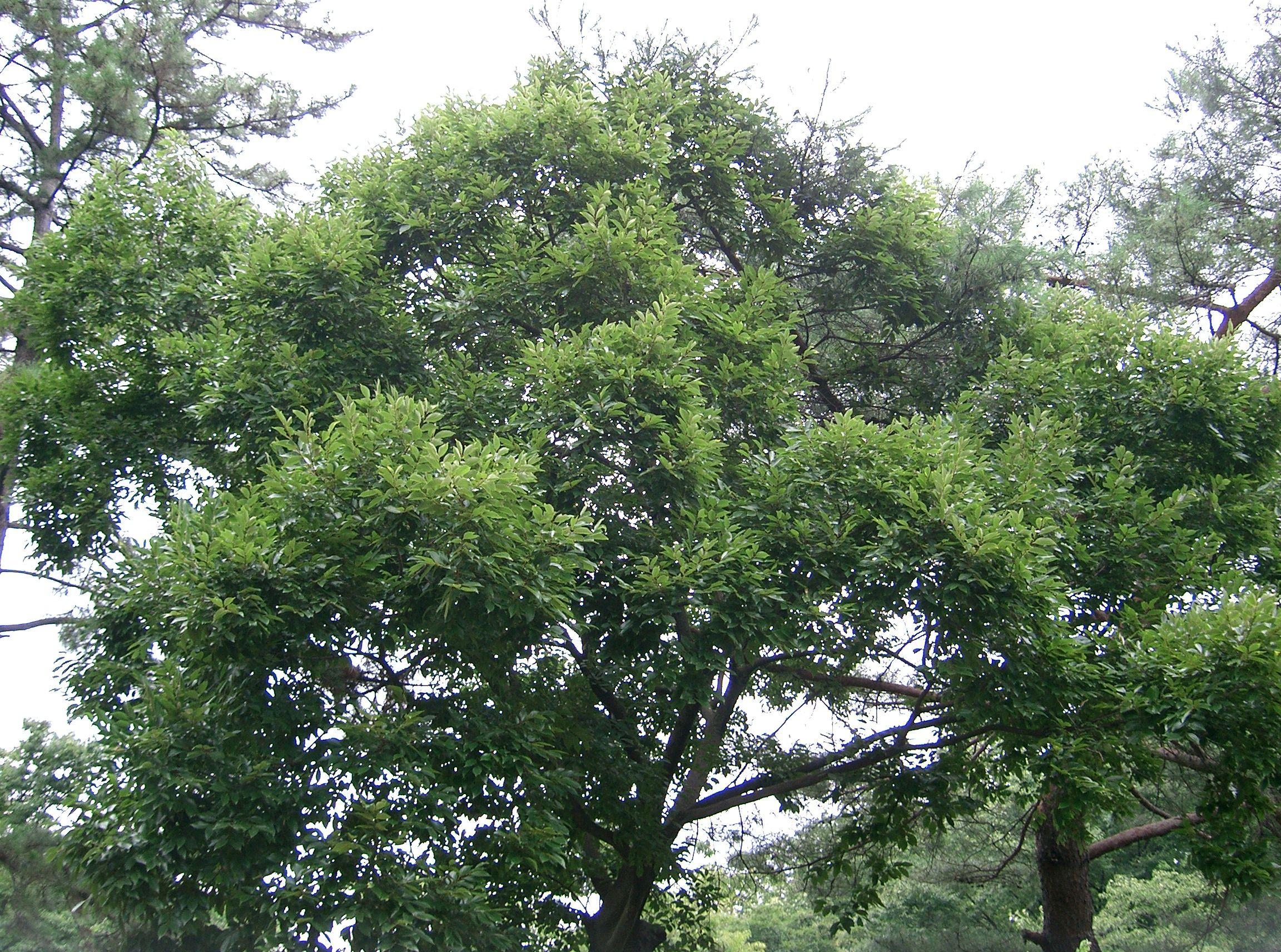 каркасное дерево