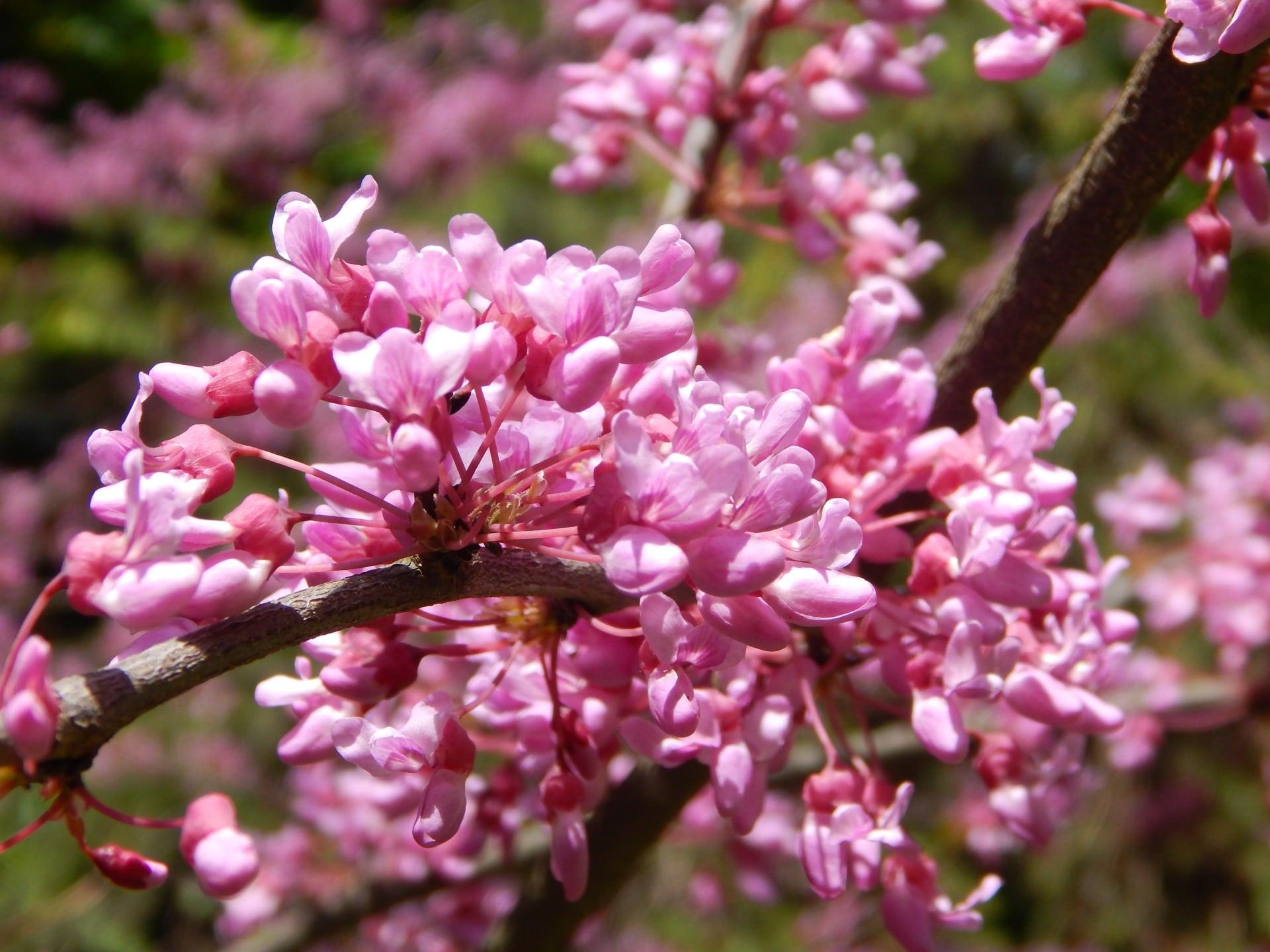 церцис цветение