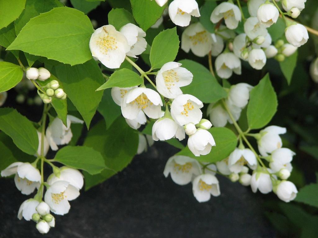 чубушник венечный жасмин