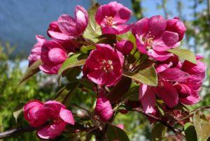 описания декоративных яблонь
