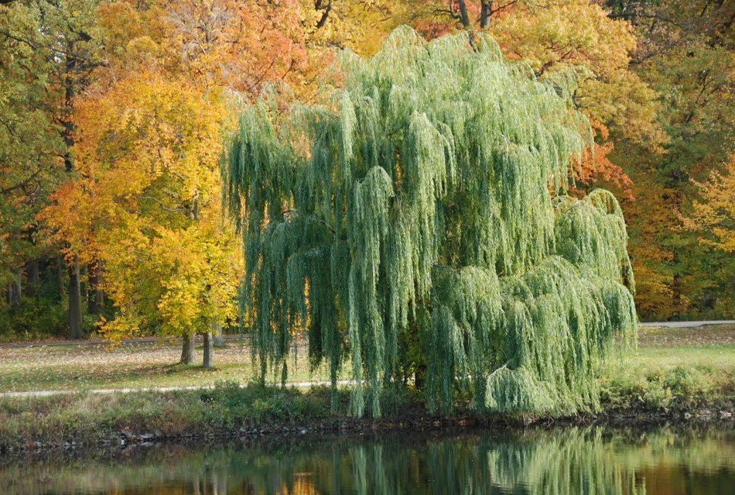 ива дерево описание