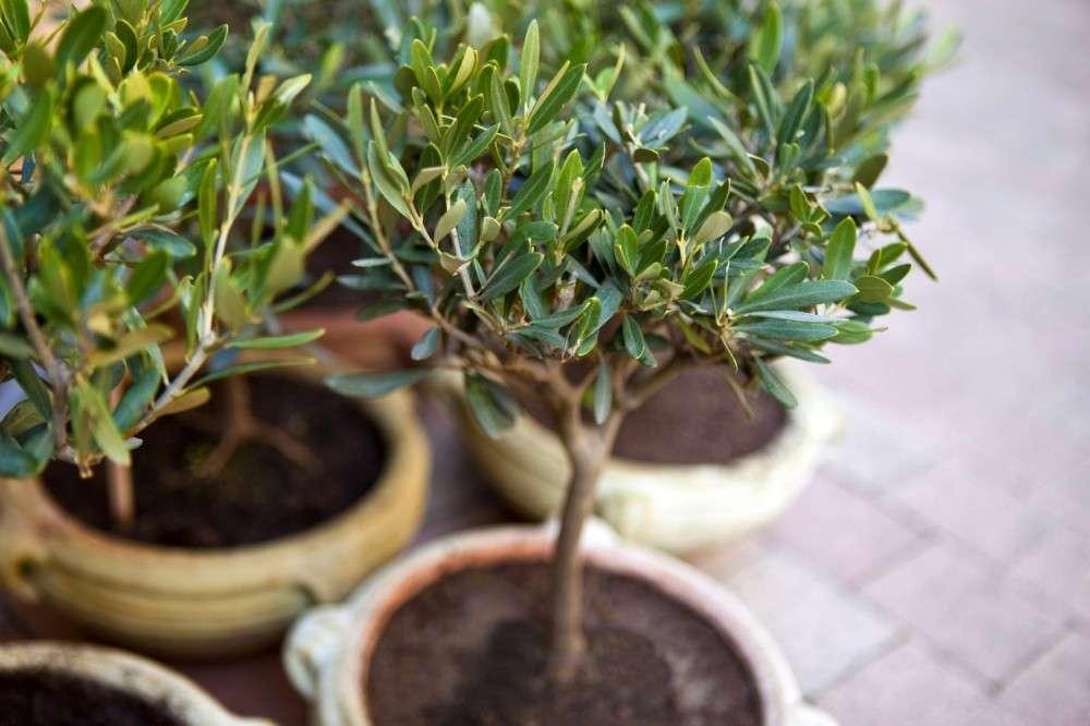 плоды оливкового дерева