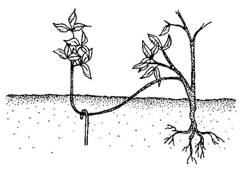 бобовник размножение