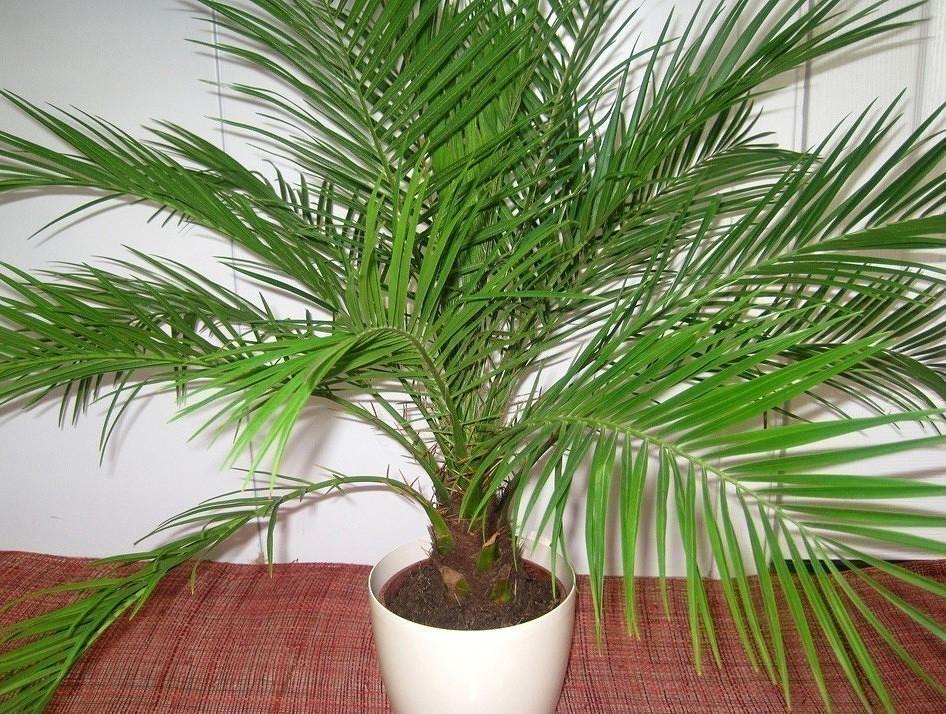 +как вырастить финиковую пальму