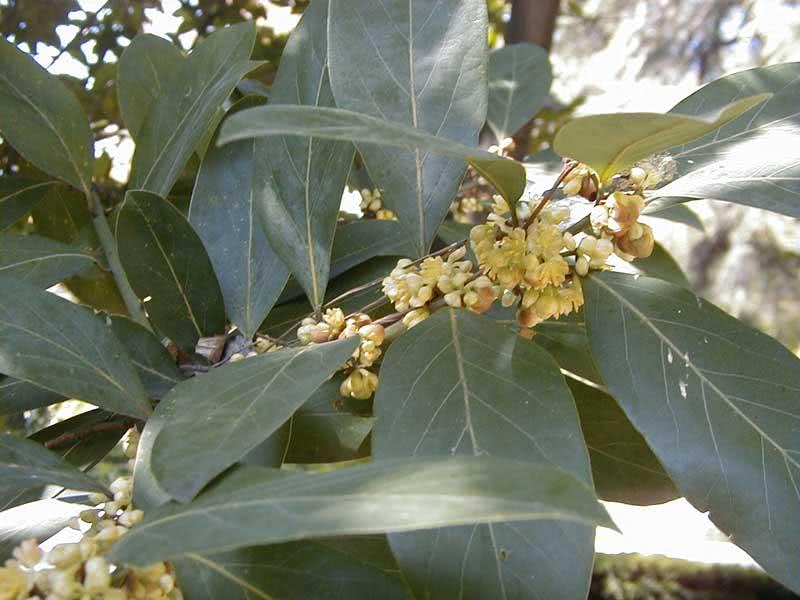 лавр растение