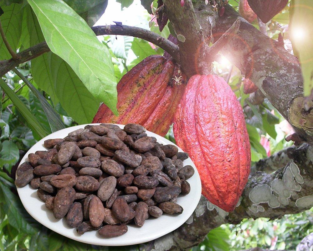 плоды шоколадного дерева